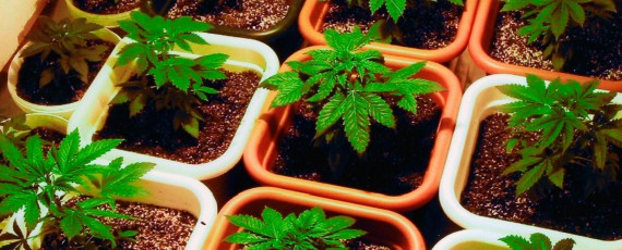 Cannabis distribution permits