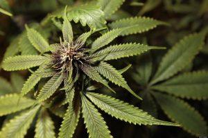 Marijuana law group