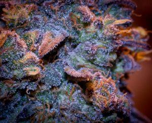 Marijuana college Online