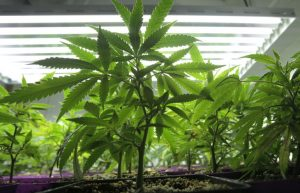 Cannabis cultivation license